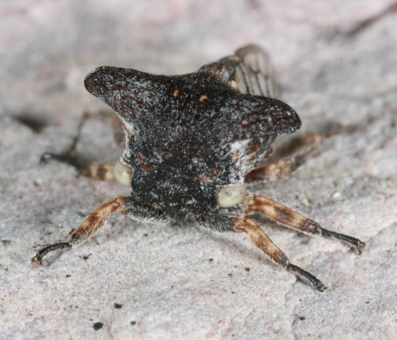 hopper 10 - Platycentrus