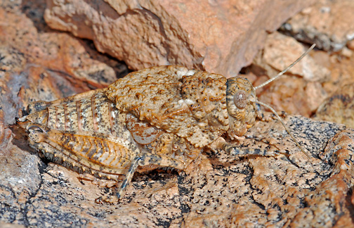 Chihuahuan Toad Lubber - Phrynotettix tshivavensis - female