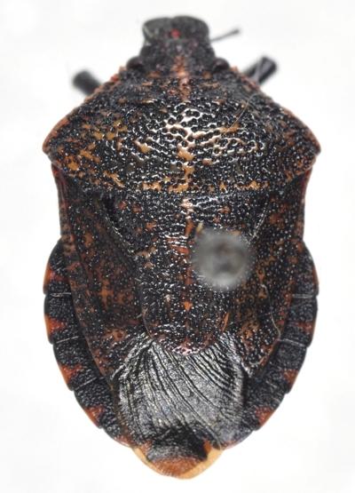 Rhacognathus americanus - male