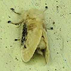 Megalopyge crispata