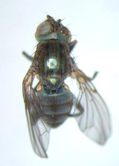 Cirrula austrina - male