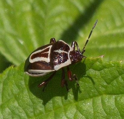 Predatory Stink Bug (Perillus circumcinctus) - Perillus circumcinctus