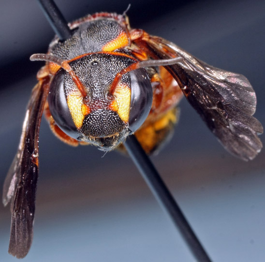 bee - Anthidiellum perplexum