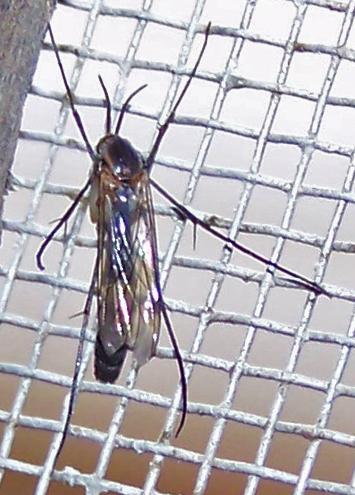 Keroplatidae (Predatory Fungus Gnats)