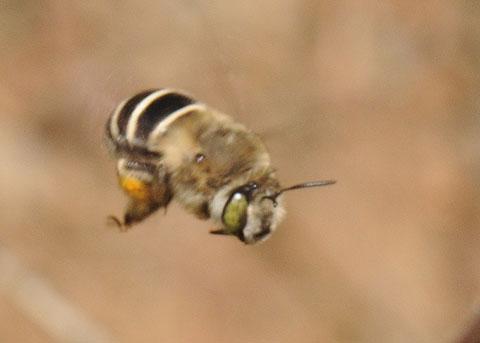 Bee at Bluebells - Anthophora californica