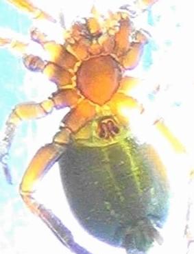Western Ground Spider - Drassyllus insularis - female