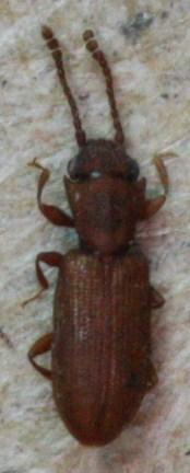 Silvanoperus scuticollis - Silvanoprus scuticollis
