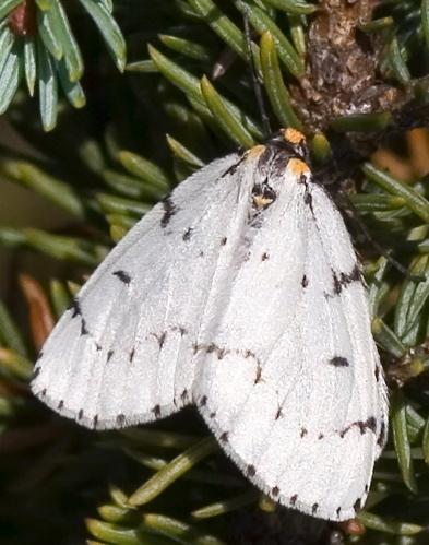 Chain-dotted Geometer - Cingilia catenaria - female
