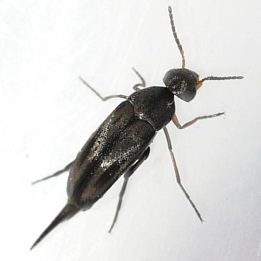 Tumbling Flower Beetle - Mordellistena convicta