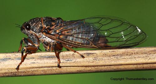 Cicada - Okanagana rimosa