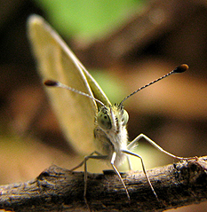 Dainty Sulphur Butterfly - Nathalis iole