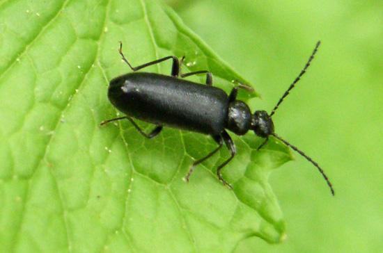 Beetle to ID - Pedilus lugubris