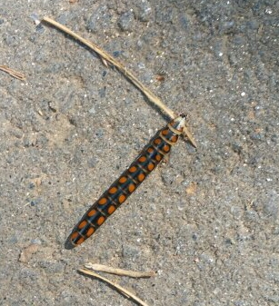 What is this? - Phengodes