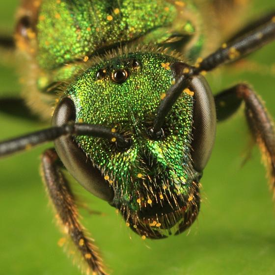bee - Augochlorella aurata - female