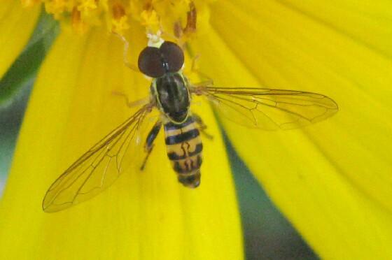 Syrphid - Michigan - Toxomerus geminatus - male