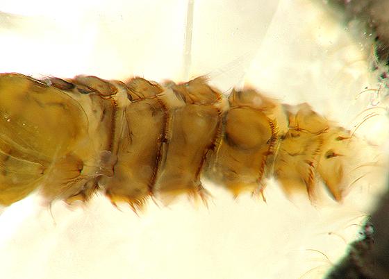 Moth Fly Pupa - Clogmia albipunctata