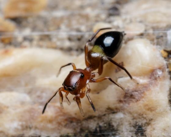 Peckhamia - female