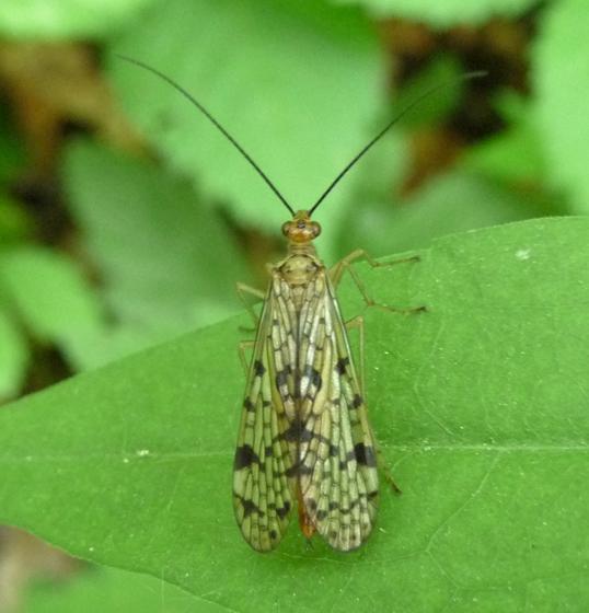 Panorpidae, dorsal - Panorpa - female