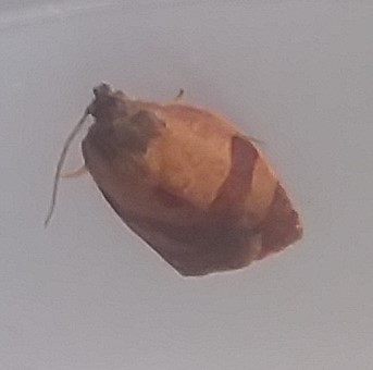 Washington Moth - Cacoecimorpha pronubana