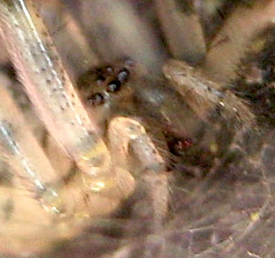 Spider on iron fence - Zygiella x-notata