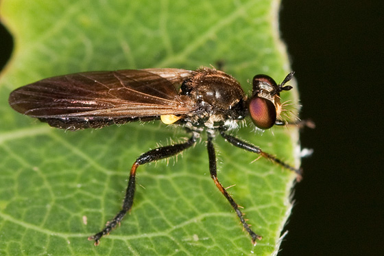 Robber Fly - Eudioctria sackeni - female