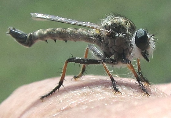 Efferia tuberculata - male