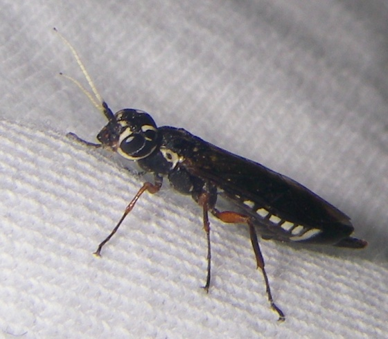 Lovely wasp - Xiphydria maculata