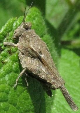 tetrigid - Tetrix arenosa - female