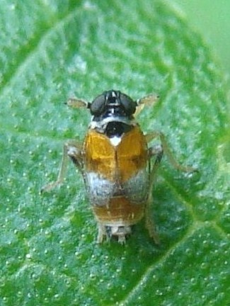 Delphacid Planthopper - Flavoclypeus andromedus
