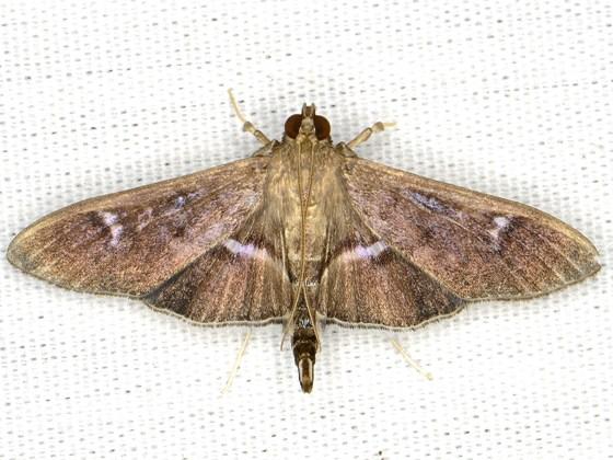 Desmia - Desmia ploralis - female