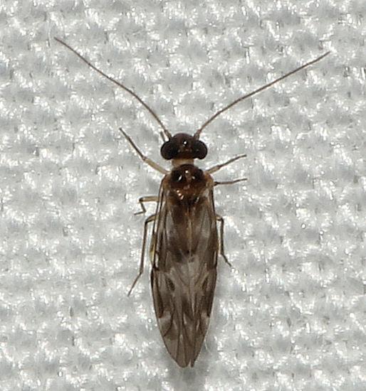 022112Blice1 - Peripsocus subfasciatus