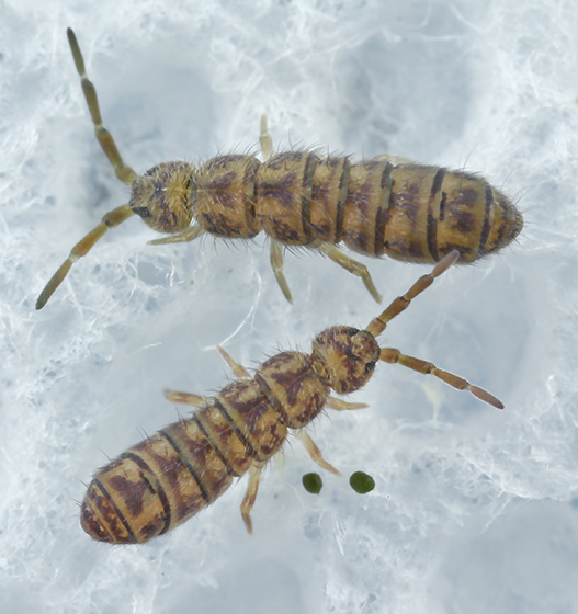 Springtails - Isotoma delta