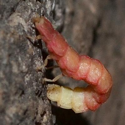 Microphotus pecosensis - female