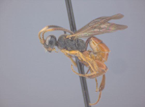 Glyphicnemis mandibularis - female