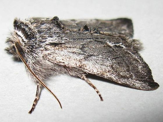 Pleromelloida bonuscula
