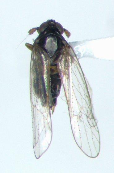 Delphacid 02 - Isodelphax basivitta