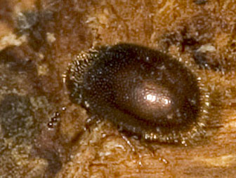 Tiny Tiny Fungus Beetle II - Malacocis brevicollis