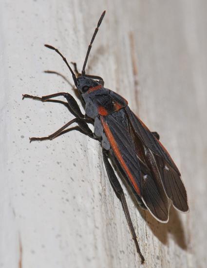 Seed Bug - Melacoryphus lateralis