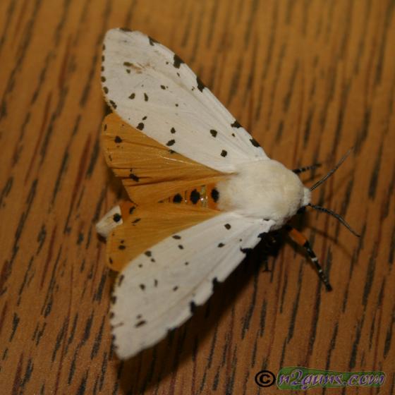 Salt Marsh Moth - Estigmene acrea