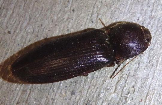 Click Beetle - Hemicrepidius nemnonius