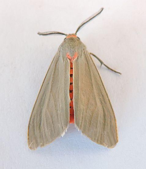 Arizona Moth - Pygarctia murina