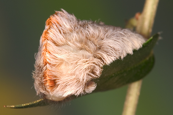 Flannel Moth - Megalopyge opercularis
