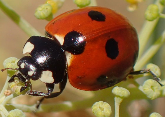 Unknown Lady Beetle - Coccinella septempunctata