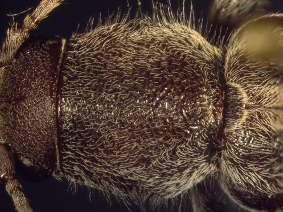Cerambycidae, pronotum - Xylotrechus sagittatus