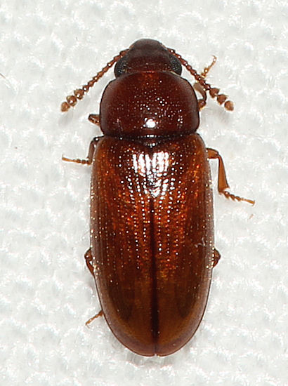 020912Beetle1 - Pharaxonotha floridana