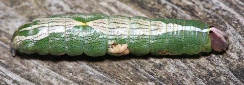 Caterpillar - Heterocampa biundata