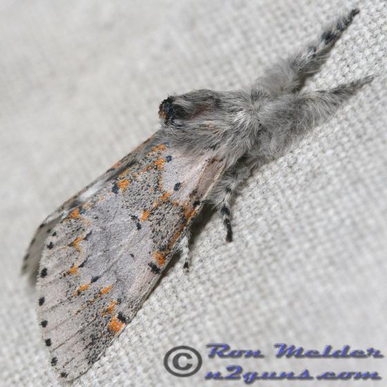 Gray Furcula - Furcula cinerea - male