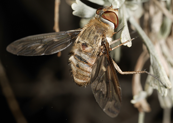 Bee Fly - Poecilanthrax willistonii