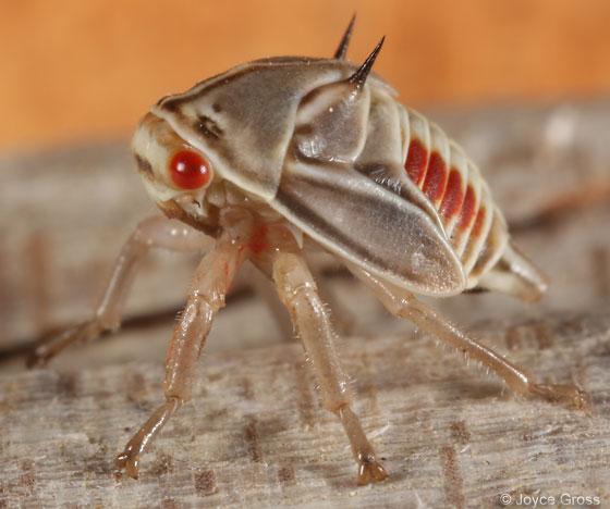 membracid nymph - Platycotis