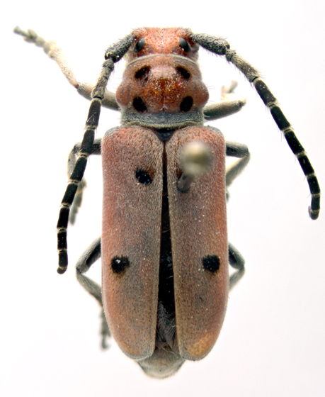 Cerambycidae - Tetraopes annulatus